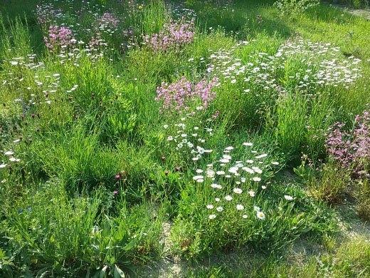 Wildblumenmatten im Folgejahr