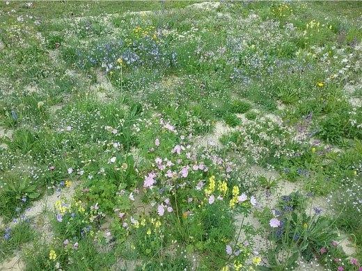Wildblumenmatten nach kurzer Zeit