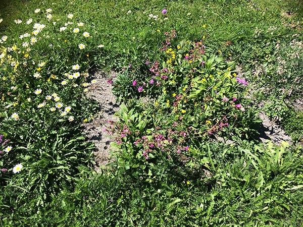 Wildblumenmatten