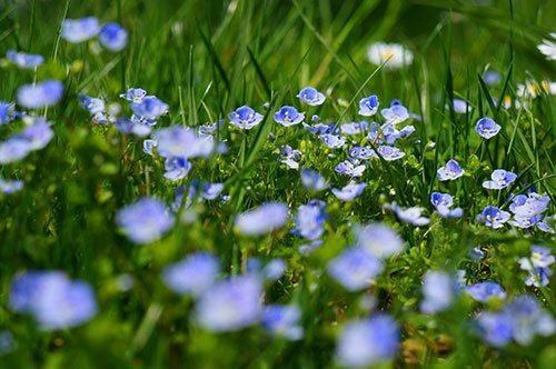 Wildblumenwiese Gamander Ehrenpreis